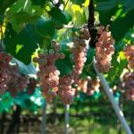 日本固有のぶどう品種「甲州種」からみた、日本ワインの歴史