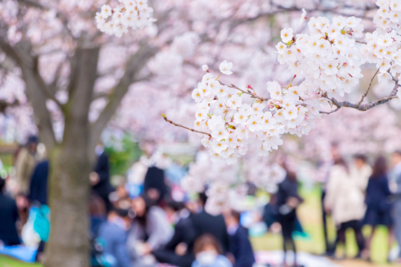 cherry_blossom_viewing
