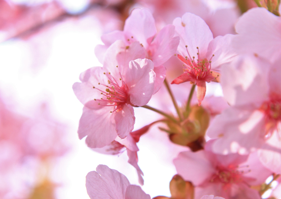 cherry_blossom_viewing_2