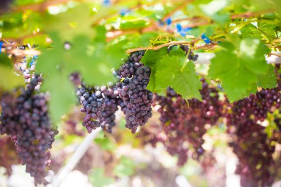 winebelt_2