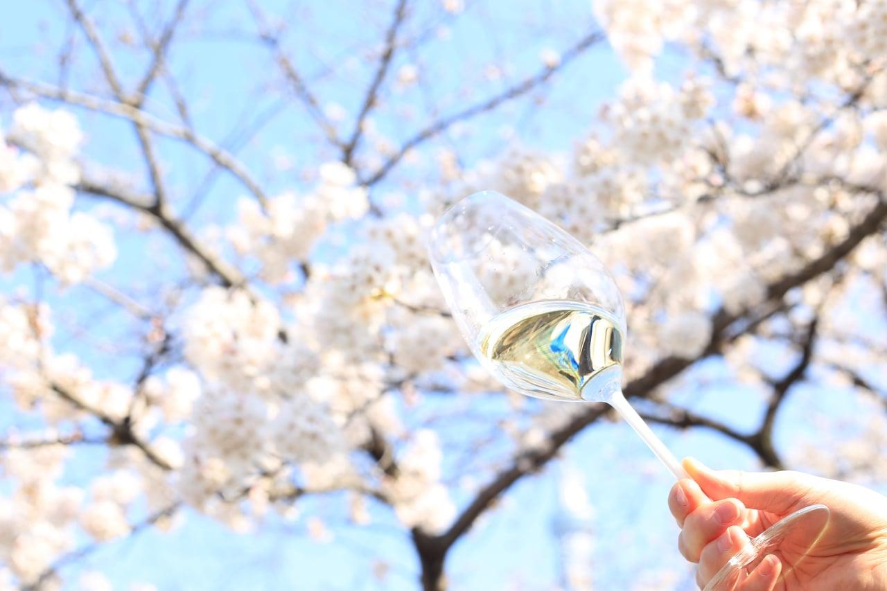桜の木の下で飲むワイン
